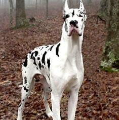 大丹犬颜色图片