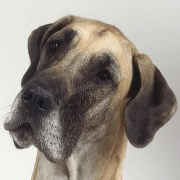 大丹犬头部图片