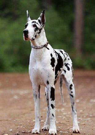 成年大丹犬图片