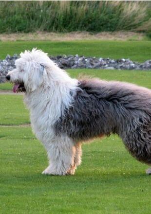 可爱的古代牧羊犬图片