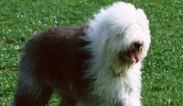 古代牧羊犬幼犬图片