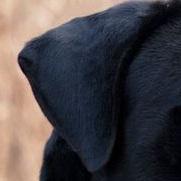 卡斯罗犬耳朵图片