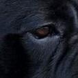 卡斯罗犬眼睛图片