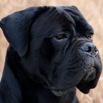 卡斯罗犬头部图片