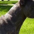 卡斯罗犬颈部图片