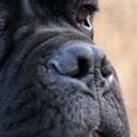 卡斯罗犬鼻子图片