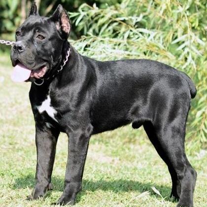 卡斯罗犬整体图片