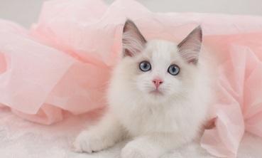 布偶猫多杀钱一只