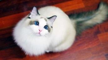 布偶猫多少钱