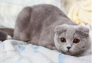 折耳猫多少钱