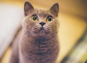 英国短毛猫价格