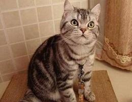 美国短毛猫价格