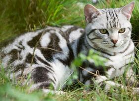 美国短毛猫图片