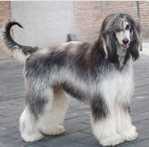 阿富汗猎犬颜色图片