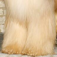 阿富汗猎犬前驱图片