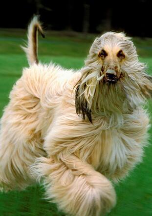 阿富汗猎犬高清图片