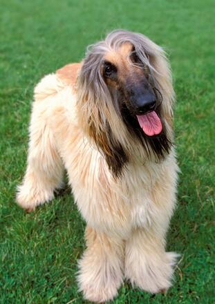 纯种阿富汗猎犬图片
