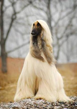 成年阿富汗猎犬图片