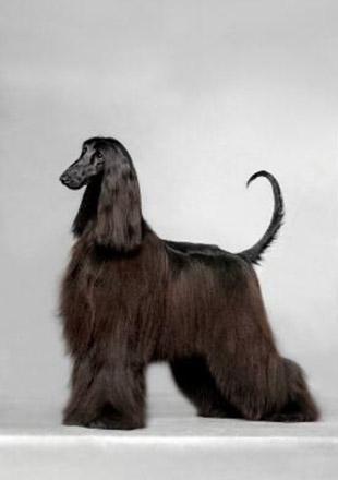 标准阿富汗猎犬图片欣赏