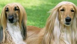 阿富汗猎犬幼犬图片