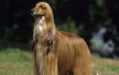可爱的阿富汗猎犬图片