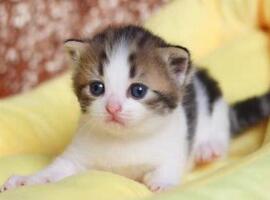 曼基康猫价格