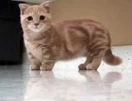 曼基康猫图片