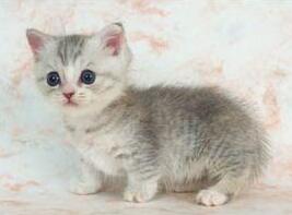 曼基康猫多少钱