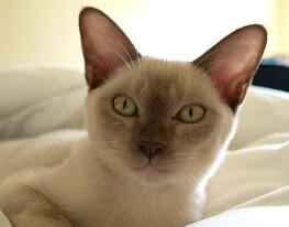 缅甸猫多杀钱一只