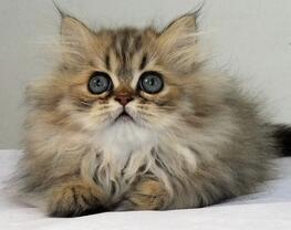 金吉拉猫多杀钱一只