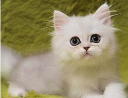 金吉拉猫价格