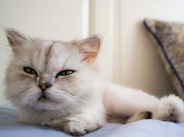 金吉拉猫图片