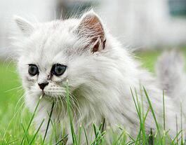 金吉拉猫多少钱