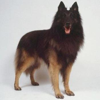 比利时牧羊犬颜色图片