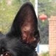 比利时牧羊犬耳朵图片