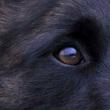 比利时牧羊犬眼睛图片