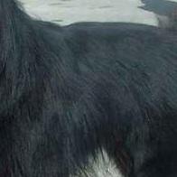 比利时牧羊犬毛发图片