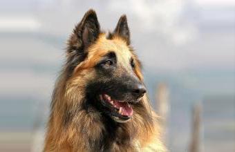 可爱的比利时牧羊犬图片