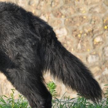 比利时牧羊犬尾巴图片