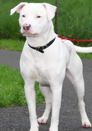 杜高犬幼犬图片