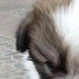 西施犬耳朵图片