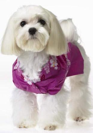 标准西施犬图片欣赏