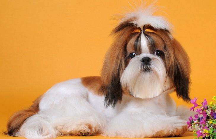 西施犬幼犬图片