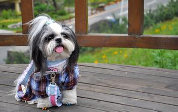可爱的西施犬图片