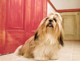 西施犬图片