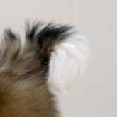 西施犬尾巴图片