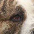中亚牧羊犬眼睛图片