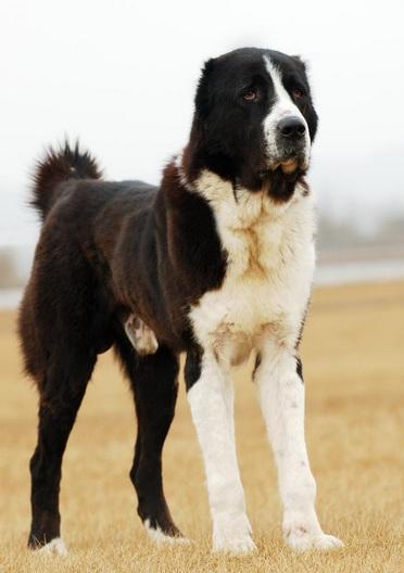 中亚牧羊犬高清图片