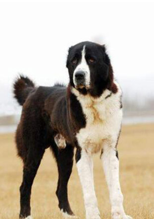 成年中亚牧羊犬图片