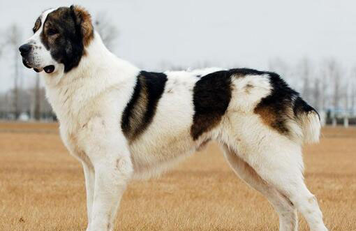 可爱的中亚牧羊犬图片